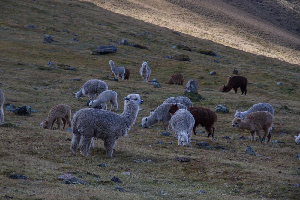 Alpaca-Peru