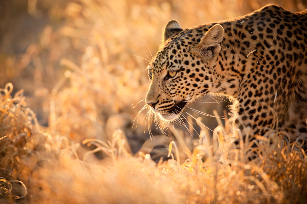 Top-5-Places-To-See-Leopards-In-South-Africa